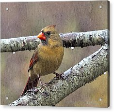 Female Cardinal Reigns In The Rain  Acrylic Print by Constantine Gregory