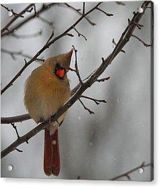 Female Cardinal In Winter Acrylic Print