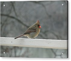Female Cardinal Posing Acrylic Print by Cindy Croal