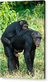 Female Chimpanzee Pan Troglodytes Acrylic Print