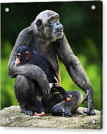 Female Chimpanzee With Young Acrylic Print by Owen Bell