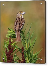 Acrylic Print featuring the photograph Female Dickcissel by Daniel Behm