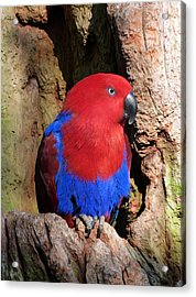 Female Eclectus Parrot Resting Acrylic Print