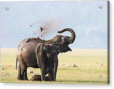 Female Elephants With Calf Acrylic Print by Sabirmallick