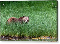 Female Grizzly, Knight Inlet Acrylic Print