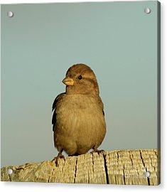 Female House Sparrow Acrylic Print by Bob and Jan Shriner