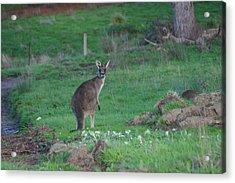 Female Kangaroo In Yarra Glen 08-07-2014 Acrylic Print by Bert Ernie