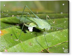 Female Katydid With Spermatophore Acrylic Print by Dr Morley Read