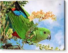 Acrylic Print featuring the photograph Female King Parrot by David Rich