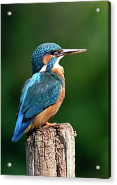 Female Kingfisher Acrylic Print by John Devries/science Photo Library