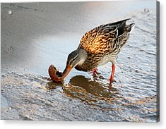 Acrylic Print featuring the photograph Female Mallard Duck  by Ann Murphy