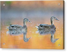 Female Mallard Ducks Acrylic Print