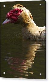 Female Muscovy Duck Acrylic Print by Allan Morrison