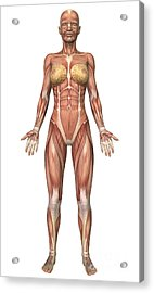 Female Muscular System, Front View Acrylic Print by Stocktrek Images