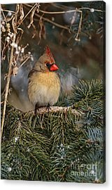 Female Norther Cardinal Acrylic Print