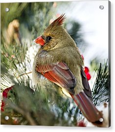Female Northern Cardinal Square Acrylic Print by Christina Rollo