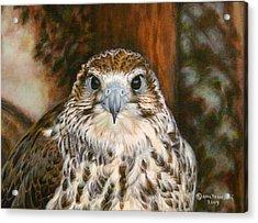 Female Of Saker Falcon Acrylic Print by Anna Franceova