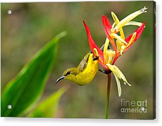 Female Olive Backed Sunbird Clings To Heliconia Plant Flower Singapore Acrylic Print by Imran Ahmed