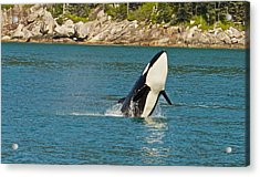 Female Orca Cheval Island Alaska Acrylic Print by Michael Rogers