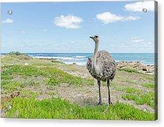 Female Ostrich Feeding Acrylic Print