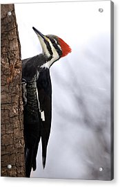 Female Pileated Woodpecker 2 Acrylic Print