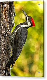 Female Pileated Woodpecker No. 2 Acrylic Print