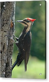 Female Pileated Woodpecker Acrylic Print by Sandra Updyke