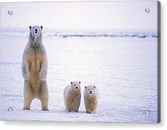 Female Polar Bear Standing With Her Two Acrylic Print by Steven Kazlowski