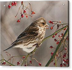 Acrylic Print featuring the photograph Female Purple Finch On Berries by Lara Ellis