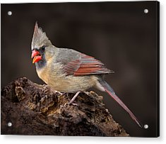 Female Red Cardinal Acrylic Print