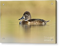 Female Ring Necked Duck Acrylic Print by Bryan Keil