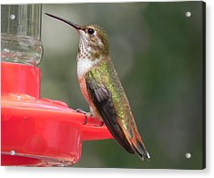 Female Rufous Hummingbird Acrylic Print