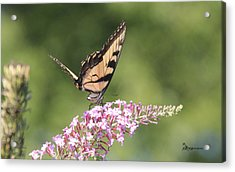 Female Tiger Butterly-1-featured In Macro-comfortable Art And Newbies Groups Acrylic Print by EricaMaxine  Price