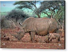 Female White Rhino With Calf Acrylic Print