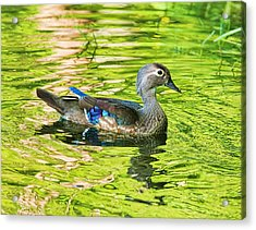 Female Wood Duck Acrylic Print by Deborah Benoit