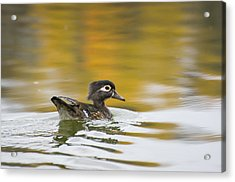 Female Wood Duck Acrylic Print by Tom Spencer