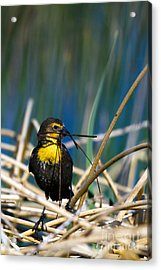 Blackbird Builds A Nest Acrylic Print