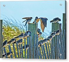 Fence Sitters Acrylic Print by Constantine Gregory