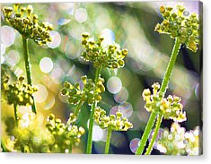 Fennel Morning Dew Acrylic Print by Rebeka Dove