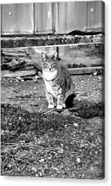 Feral Cat In Black And White Acrylic Print