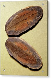 Fern Fossil (pecopteris Sp.) Acrylic Print by M P Land/science Photo Library