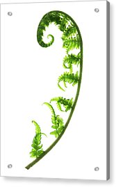 Fern Frond Acrylic Print by Gustoimages/science Photo Library