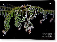 Fern Opening Up Acrylic Print by Jim Fitzpatrick