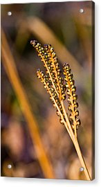 Fern Spore Stalk In Morning 3 Acrylic Print by Douglas Barnett