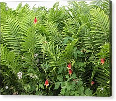 Acrylic Print featuring the photograph Ferns And Columbines by Wayne Meyer