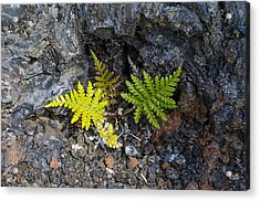 Ferns In Volcanic Rock Acrylic Print