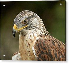 Acrylic Print featuring the photograph Ferruginous Hawk by Doug Herr