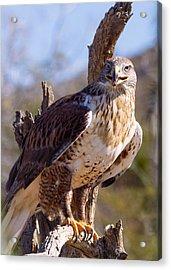 Ferruginous Hawk Acrylic Print