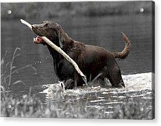 Fetch- Labrador Retriever Digital Art Acrylic Print by Gerald Marella
