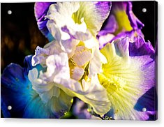 Fickle Iris  Acrylic Print